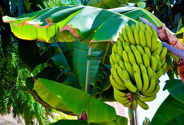 Haufen Bananen wachsenden auf Banane Baum. – Foto