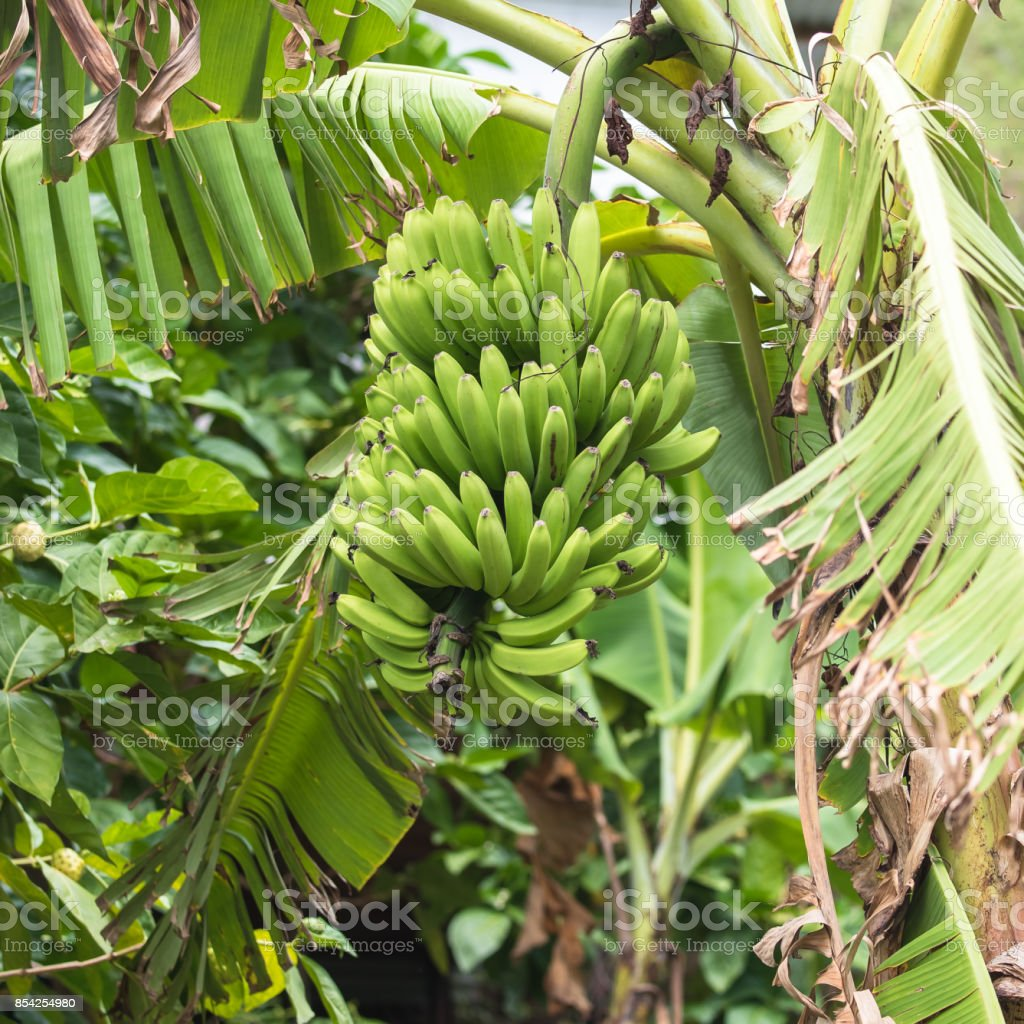 Bunch of bananas, exotic fruits stock photo