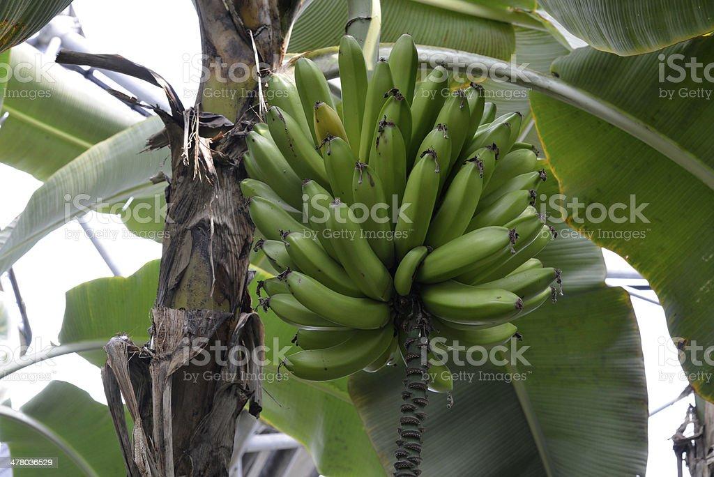 Bunch of bananas. Growing royalty-free stock photo