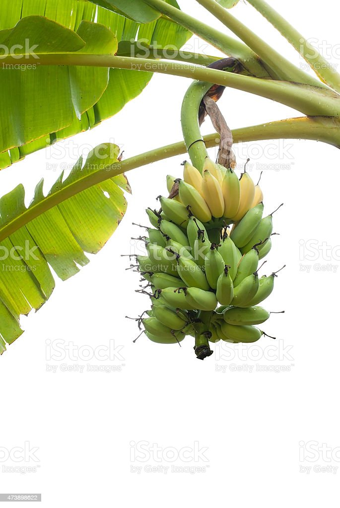 Bunch of Bananas on tree isolated on white background stock photo
