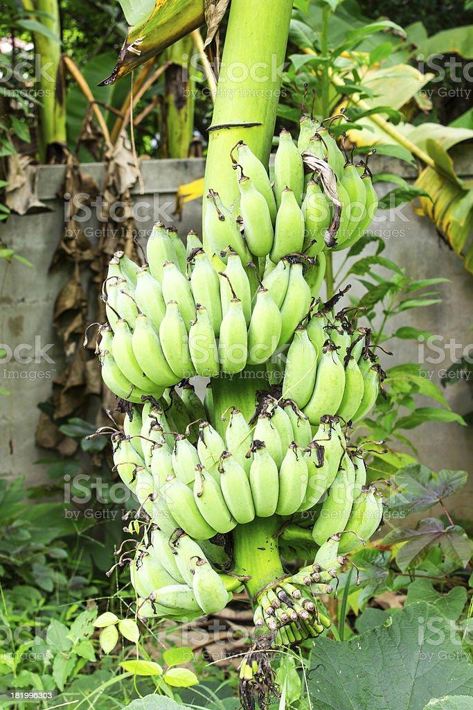 Bunch of bananas on tree royalty-free stock photo
