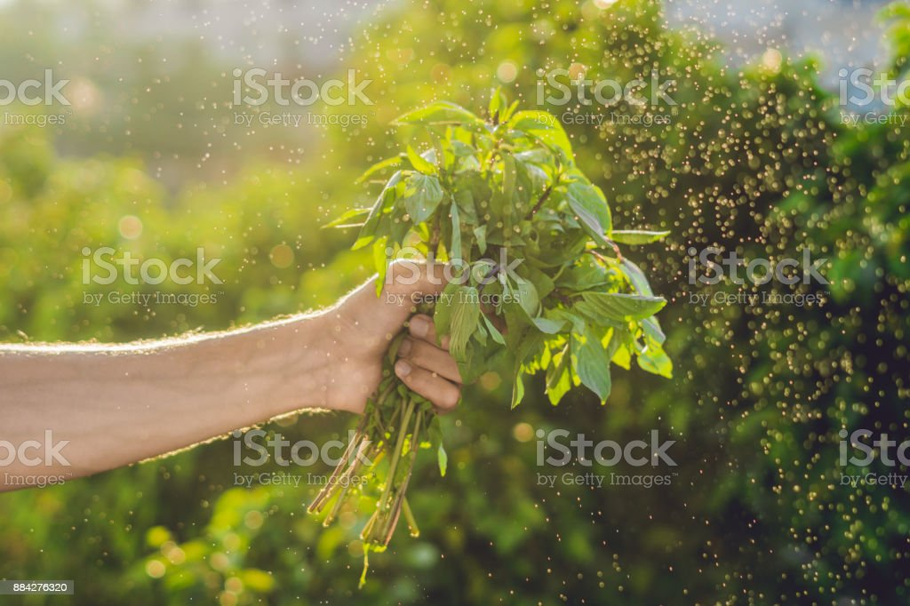 Bunch of basil in a hand of a man with a splashes of water in air....