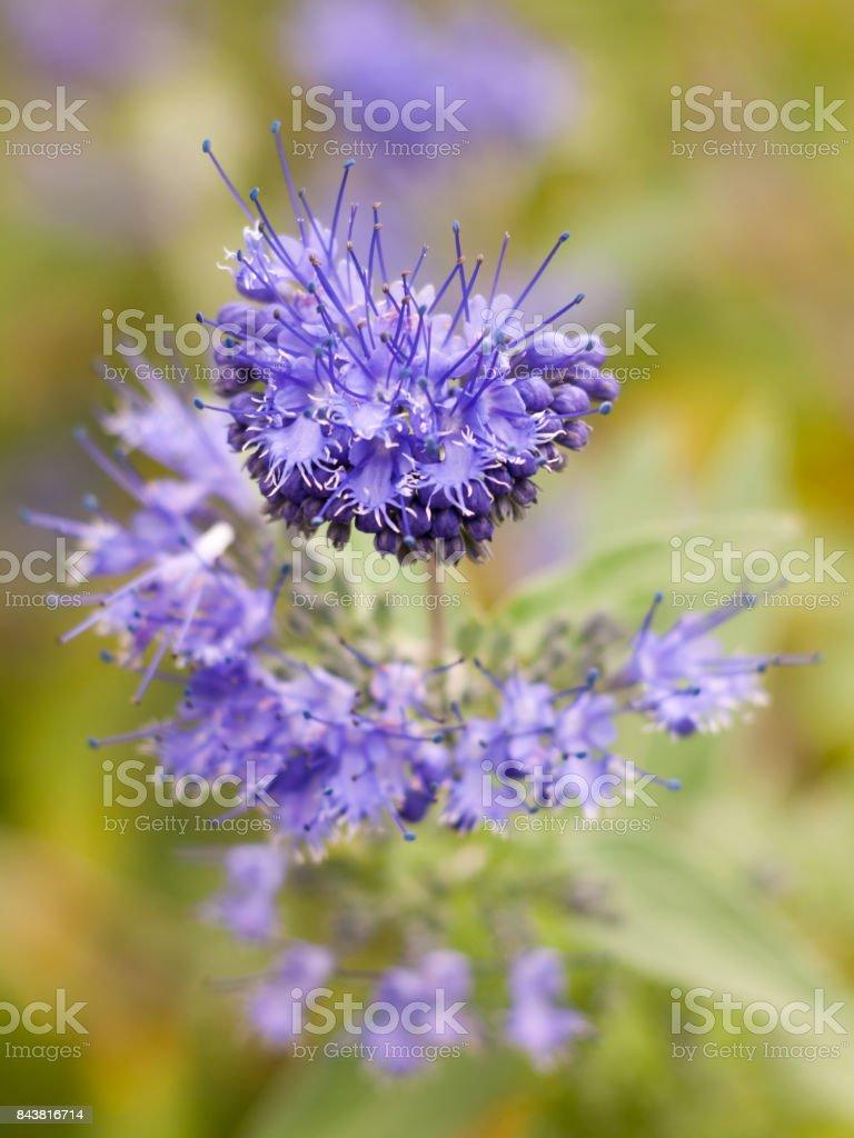 Bunch Of Beautiful Blue Flower Petals Blooming Phacelia Stock Photo