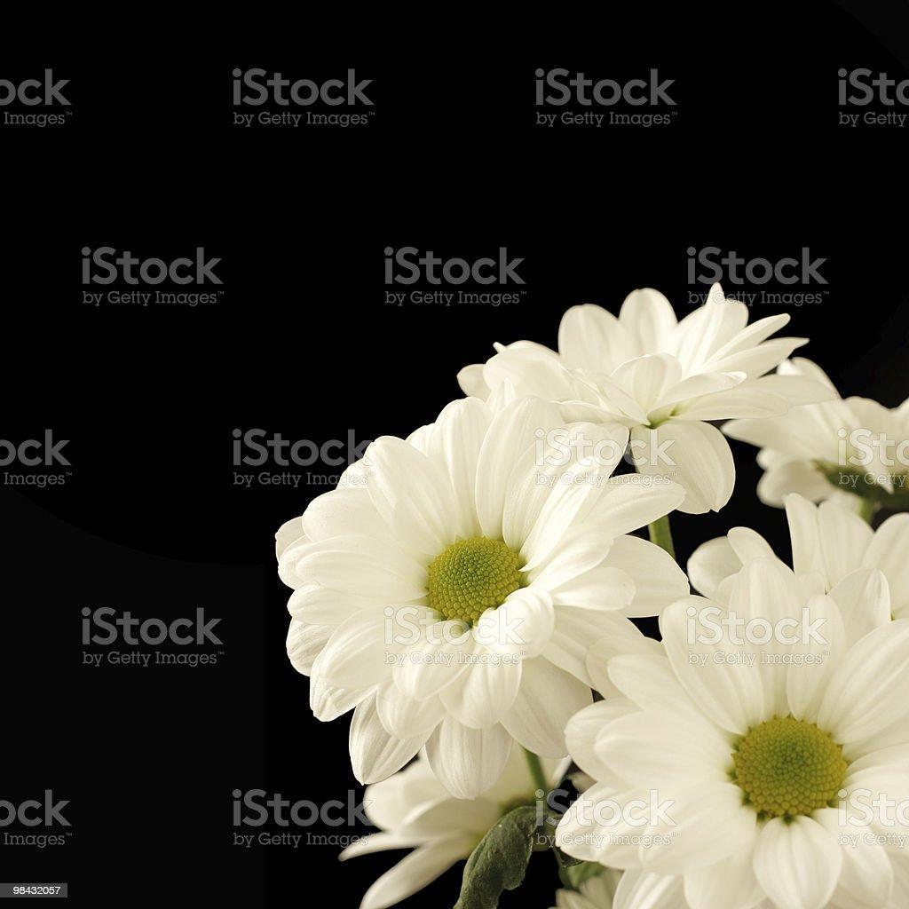 Bunch of beautiful white chrysanthemums royalty-free stock photo