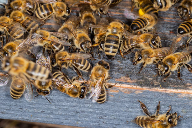 A bunch of bees at the entrance to the hive stock photo