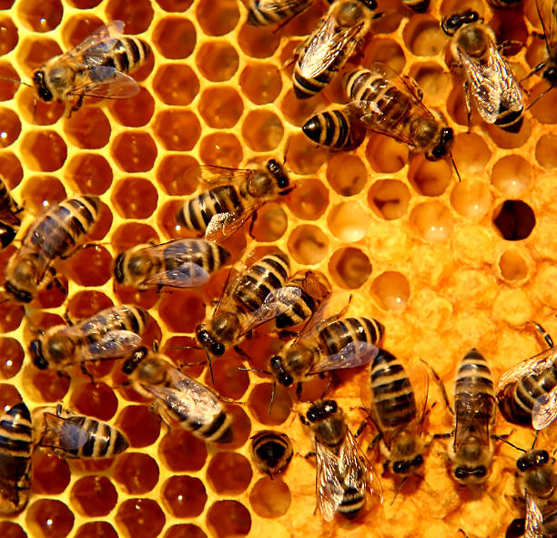 A bunch of bees on a honeycomb stock photo