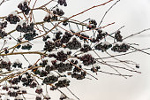 bunch of black ash covered with snow