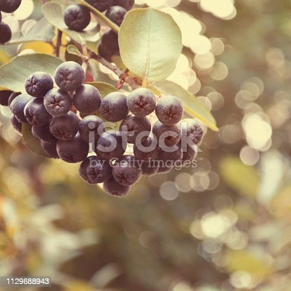 istock A bunch of black Chokeberry aronia with bokeh 1129688943