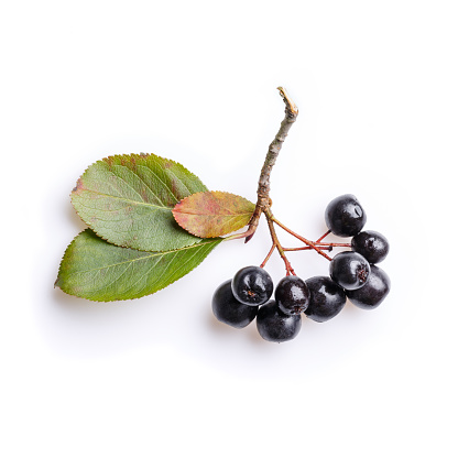 Bunch of black chokeberry berries ( Aronia melanocarpa ) on white.