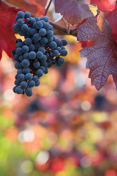A bunch of black grapes hanging from a tree stock photo