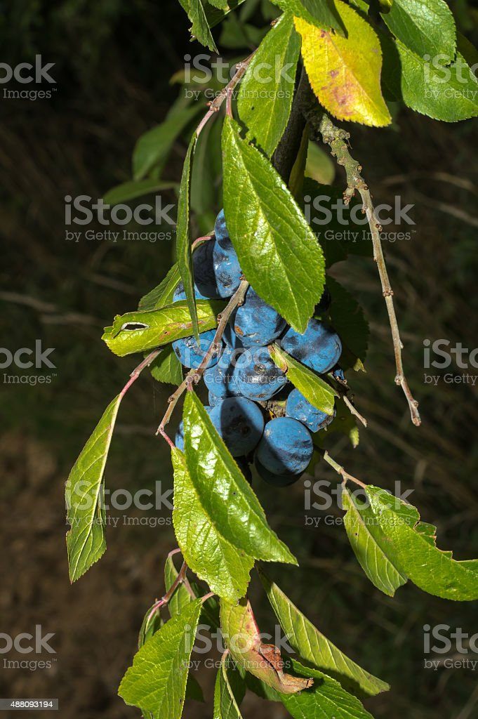 Bunch of blackthorns hidden under the leaves stock photo