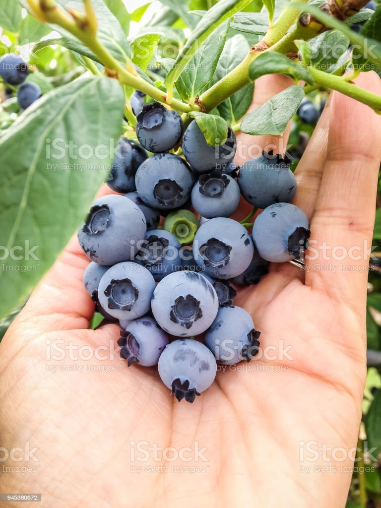 Bunch of Bluberries stock photo