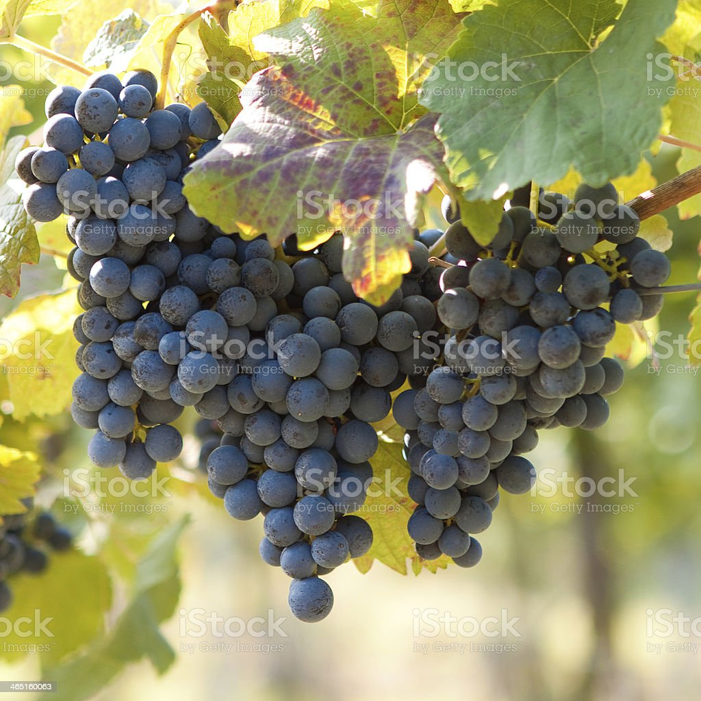 Bunch of blue grapes royalty-free stock photo