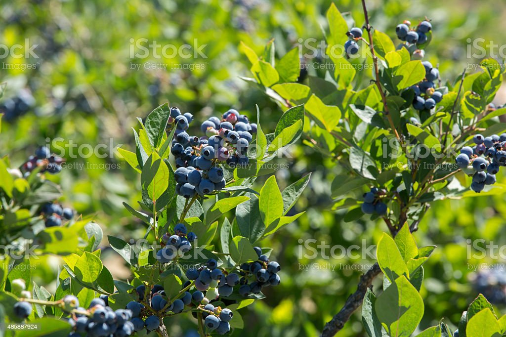 Bunch Of Blueberries stock photo