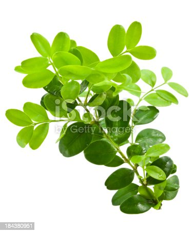 Bunch of boxwood twigs (Buxus sempervirens) on white background.