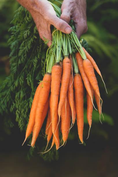 Un montón de zanahorias en manos humanas - foto de stock