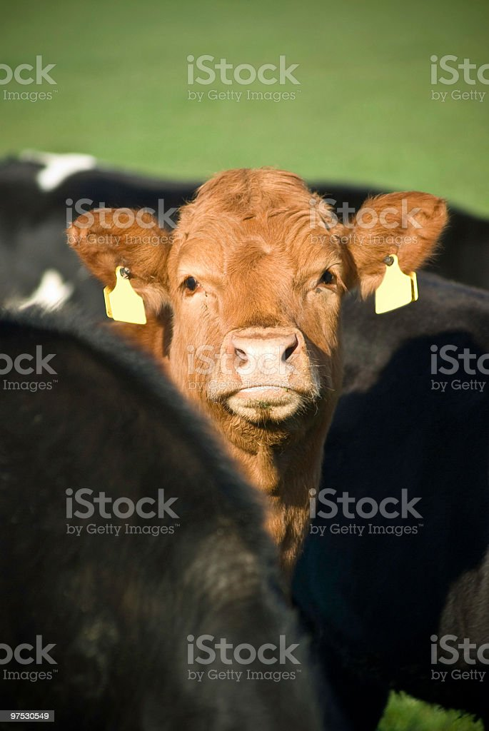 Bunch of cattle in a green field. Tipperary, Ireland royalty-free stock photo