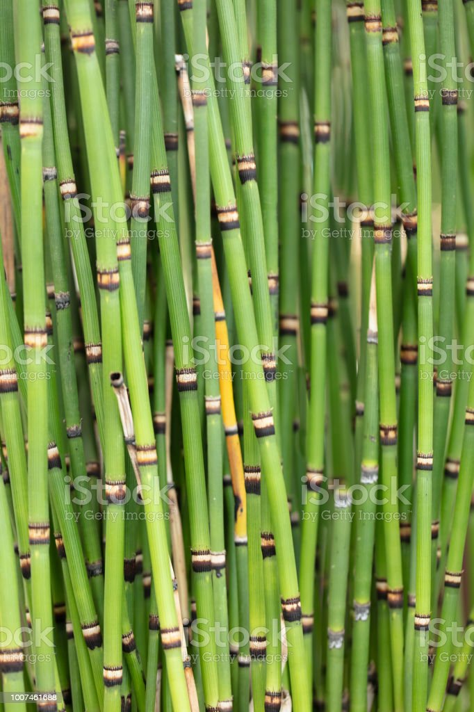 Bunch of clumping Japanese Horsetails growing in a garden stock photo
