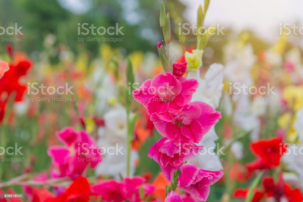 Bunch of colorful Gladiolus flowers in beautiful garden stock photo