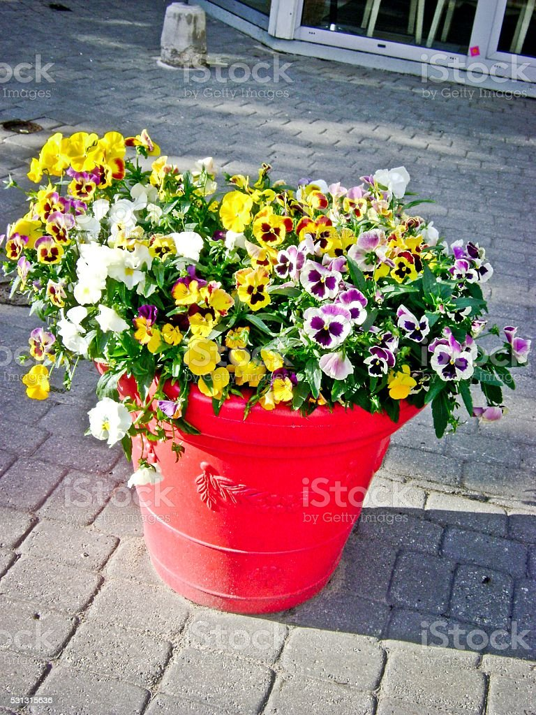 Bunch of colorful pansies flowers in ceramic pot stock photo