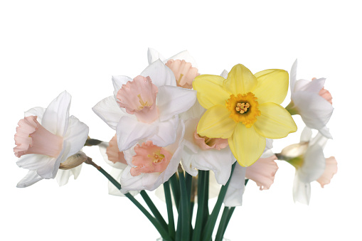 Bunch of beautiful colourful daffodils in a glass vase. Taken in a studio with white background.