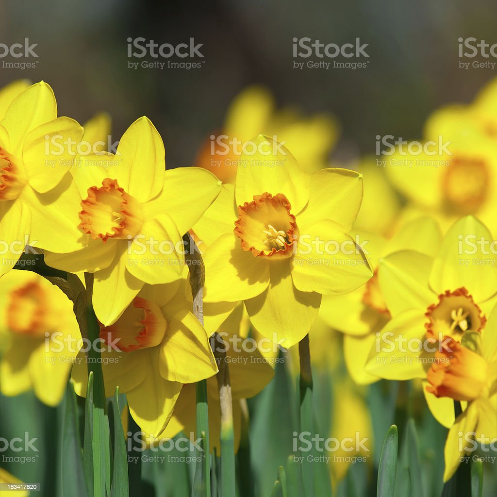 Bunch of daffodils, Narcissus 'Orangery' cultivar - III royalty-free stock photo