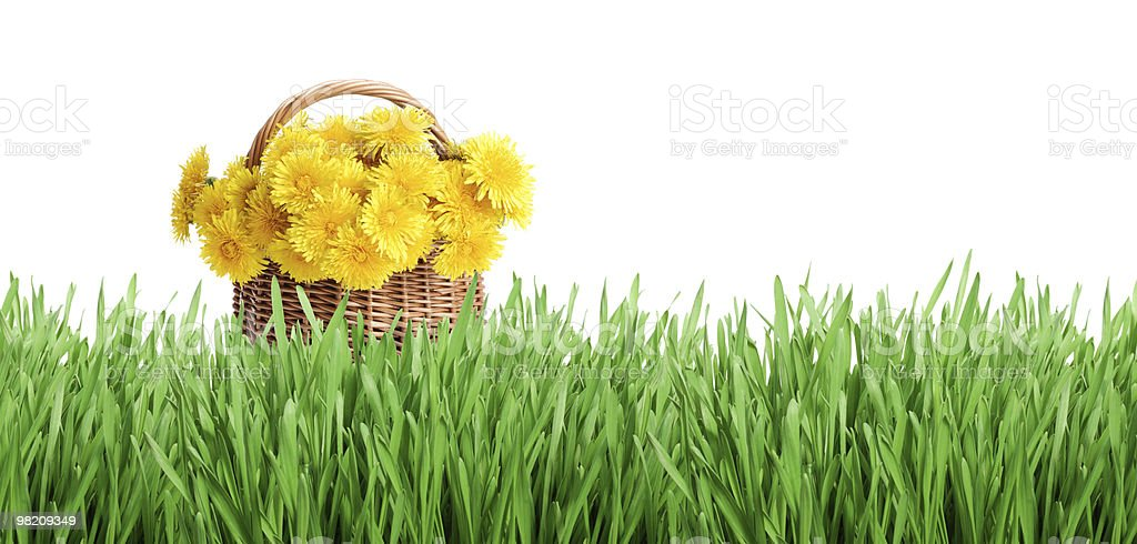 Bunch of dandelions and green grass royalty-free stock photo