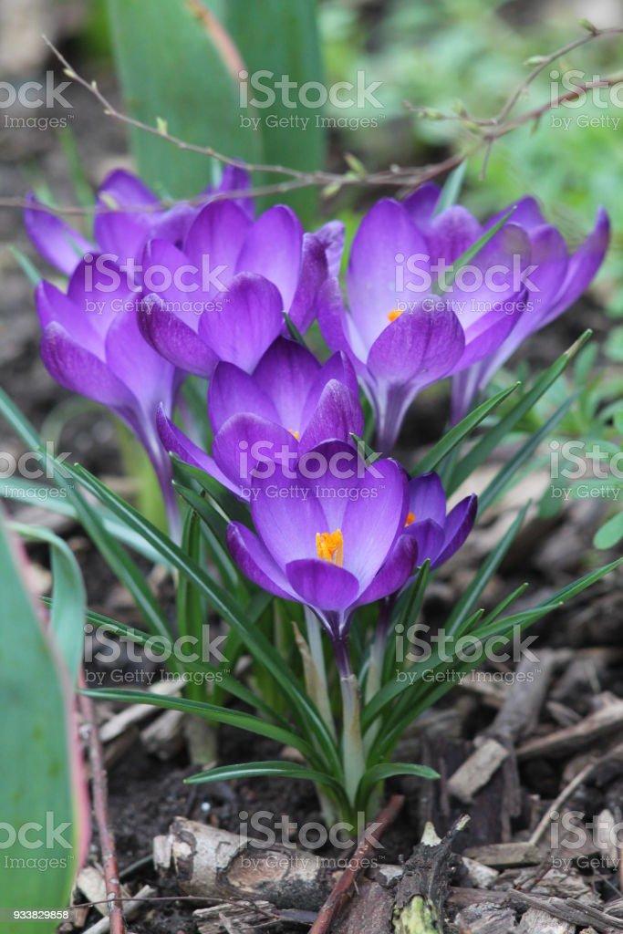 Bunch of dark purple crocuses. stock photo
