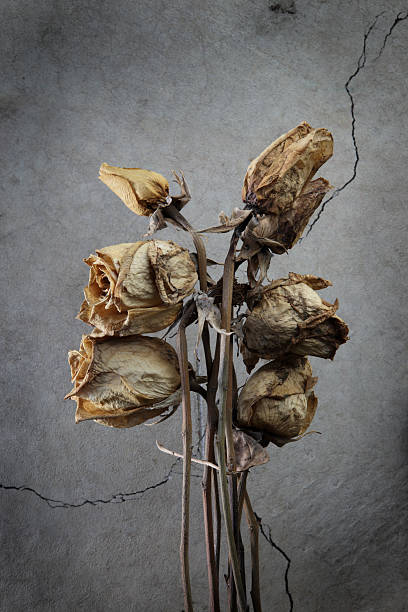 bunch of dead roses. - dead plant stock photos and pictures