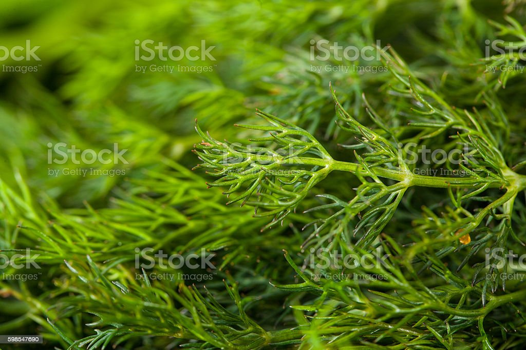bunch of dill for background use photo libre de droits