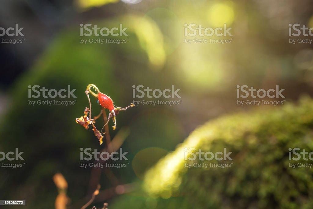 Bunch of dogrose. Rosehip stock photo