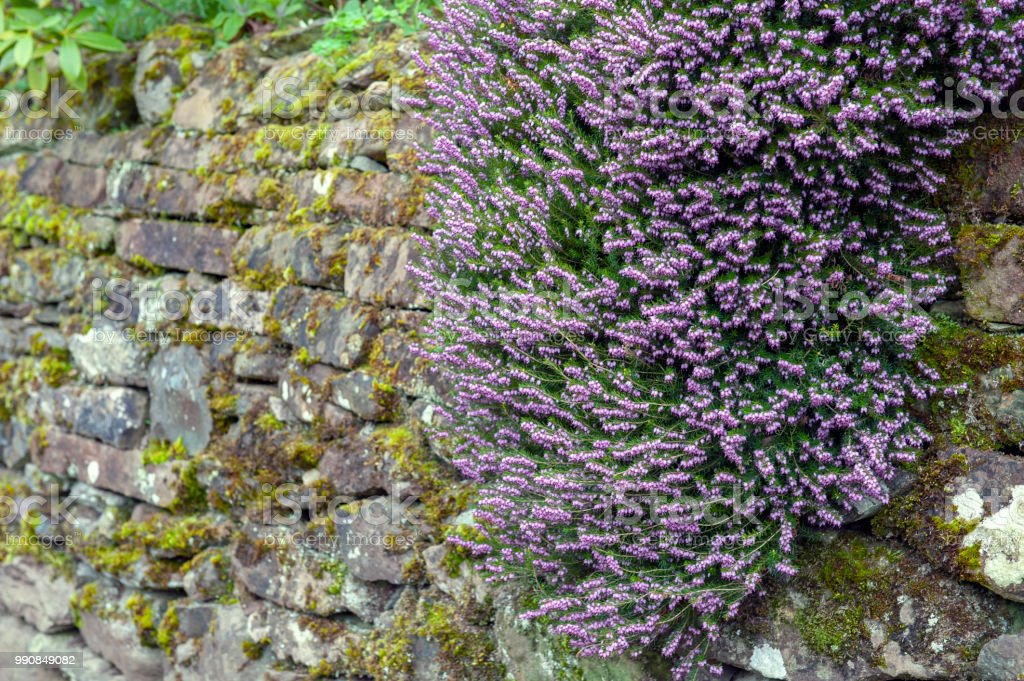 A bunch of Erica x darleyensis, or Pink Spangles flowering subshrub plant also known as Furzey, Winter Heath, Springwood pink, December red, and Archie Graham, with abundant small, urn-shaped, purple pink flowers and needle green foliage stock photo