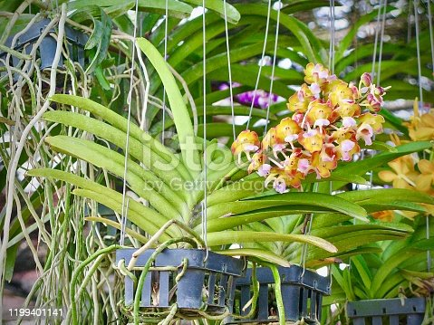 Flower and Plant, Beautiful Vanda Flabellata Orchid Flower Streak For Garden Decor. Epiphytic Orchid Native to Yunnan, Myanmar, Laos and Thailand.