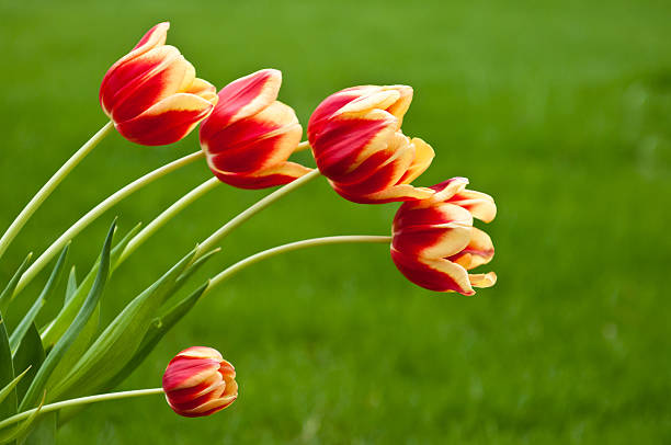 Bunch of five red and yellow tulips stock photo