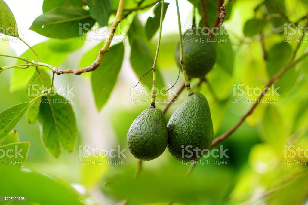 Bunch of fresh avocados ripening on an avocado tree branch stock photo