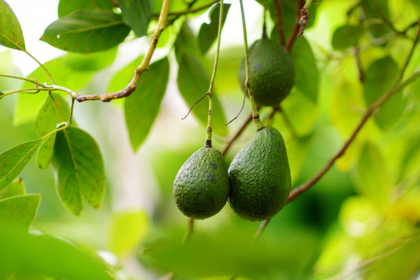Bunch of fresh avocados ripening on an avocado tree branch stock photo