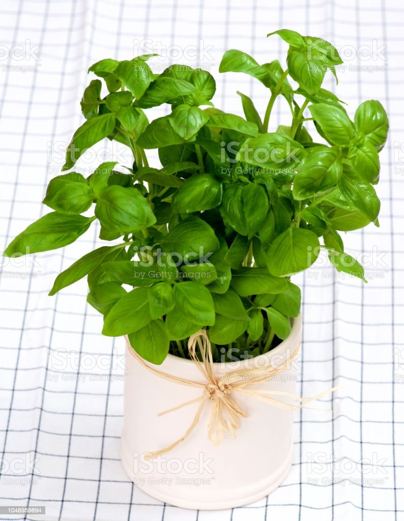 Bunch of Fresh Raw Green Basil in White Pot closeup on Checkered...