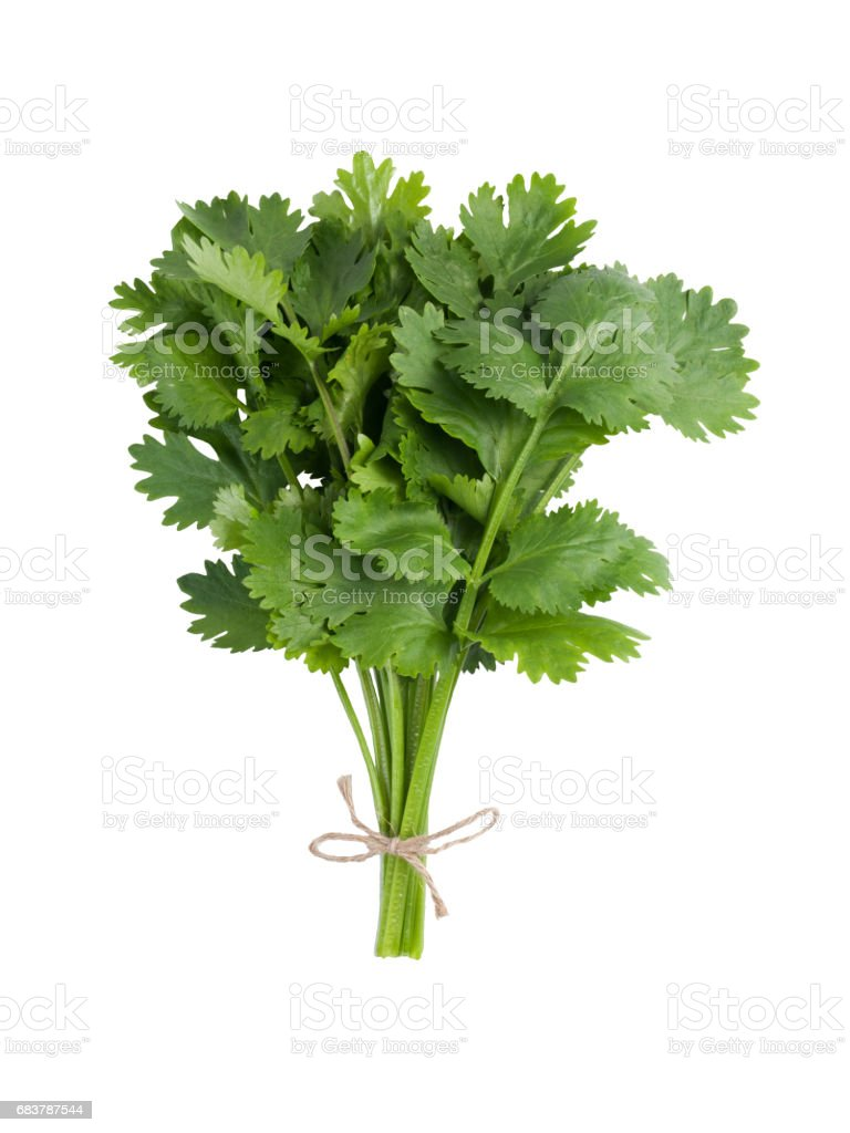Bunch of fresh coriander with twine isolated on white background stock photo