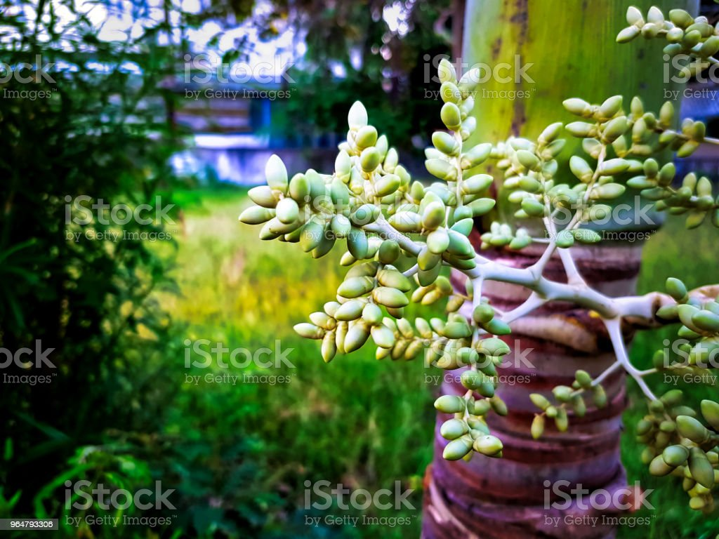 Bunch of Fresh Green Palm Seeds on Palm Tree royalty-free stock photo