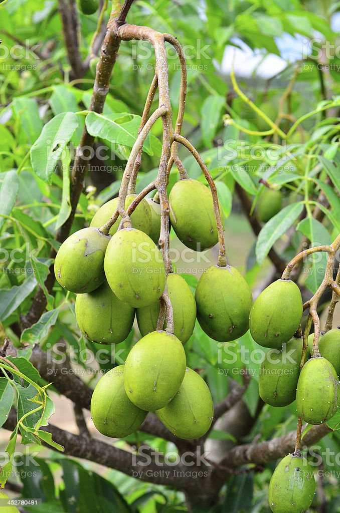 Bunch of fresh olive fruit on the tree royalty-free stock photo