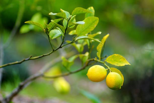 Bündel von frischen reifen Zitronen auf einem Zitronenbaum Zweig – Foto