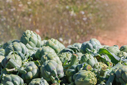 Freshly harvested artichoke heads on an out of focus background. Selective focus and close up. Agriculture and healthy vegetables concept.