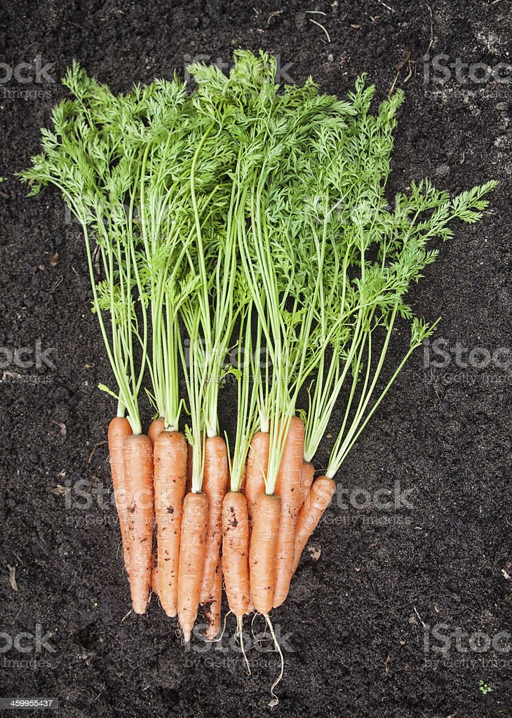 Bunch of Freshly Harvested Carrots stock photo