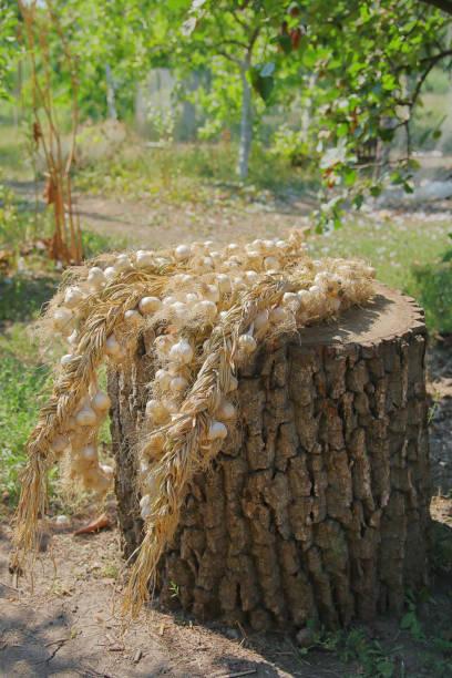 Bunch of garlic lying in the garden on a stump.
