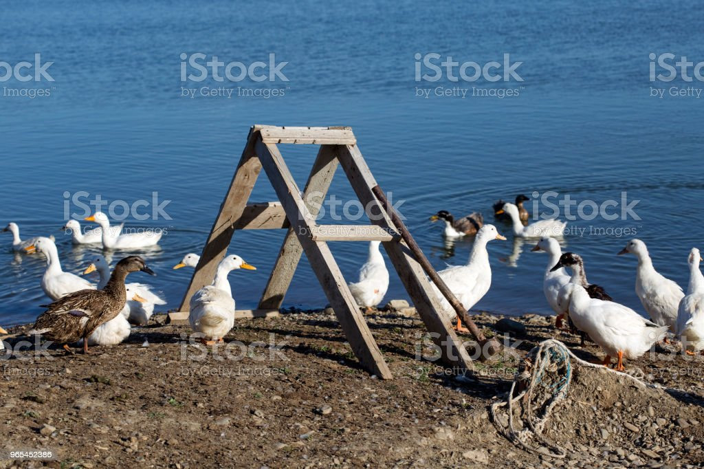 A bunch of geese near a lake at the sunset in Romania royalty-free stock photo