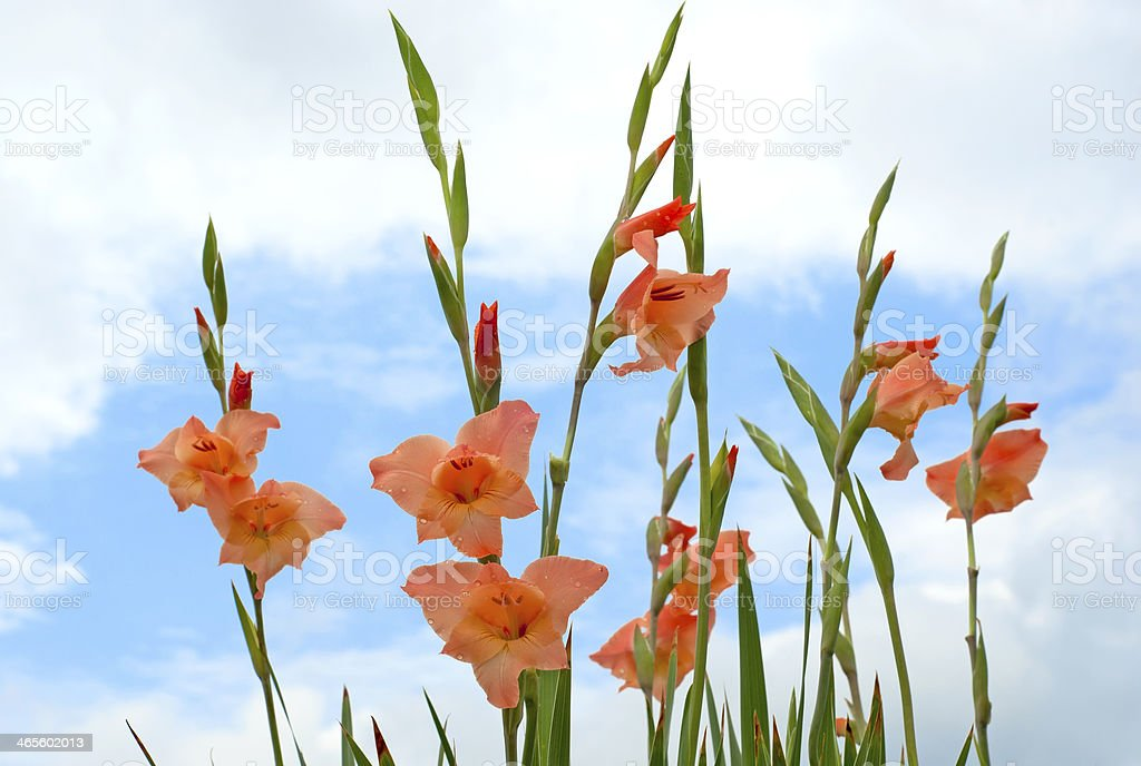 Bunch of Gladiolus flower royalty-free stock photo