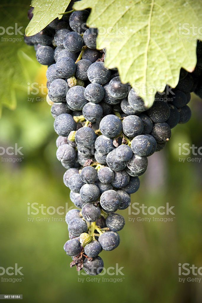 Bunch of grape royalty-free stock photo