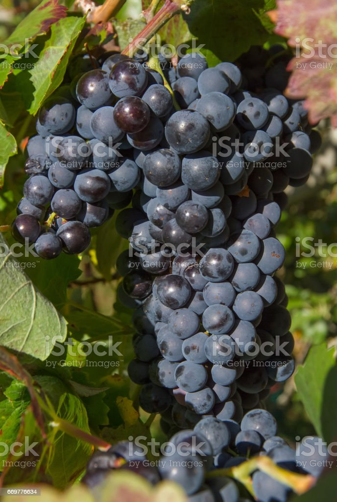 Bunch of Grapes Black  - Racimo de Uvas Negras stock photo
