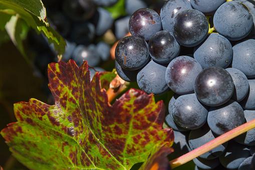 Bunch of Grapes Black  - Uvas y Hoja de Parra