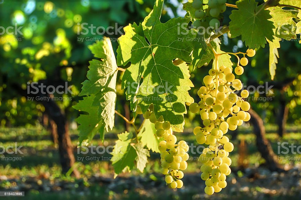 Bunch of grapes in a french vineyard stock photo